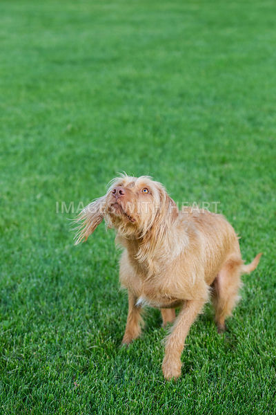 Dog_Playing_On_Grass_Looking-Up