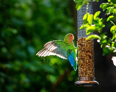 Rosy-Faced Lovebird on Backyard Feeder