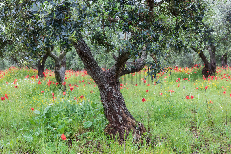 Olive Trees and Poppies near Locorotondo