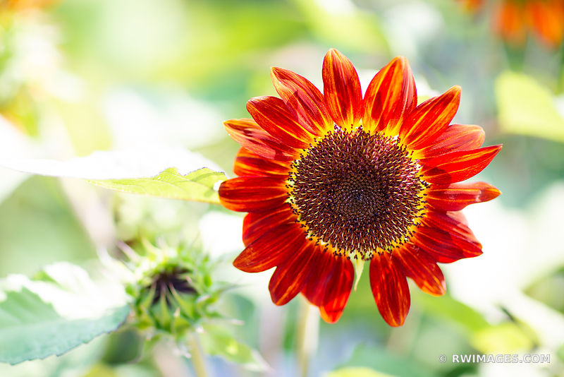 RED SUNFLOWER BOTANICAL
