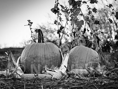 pumpkins_and_corn_Date_(October_17_2020Month_DD_YYYY)1_500_sec_at_f_7.1_NAT_WHITE