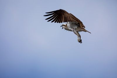 Osprey in flight with wings in upward sweep with beak open