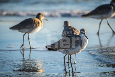 A brown Sandpipers in Anna Maria Island, Florida
