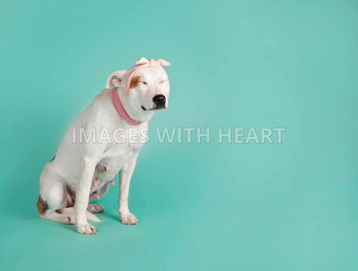 White dog with pink bow sitting on blue background