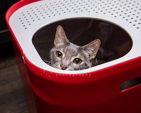 Grey Cat Sitting in and Peering up from Red Top Entry Litterbox