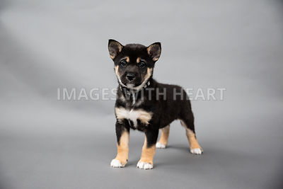 Shiba Inu Puppy Standing on Grey Background