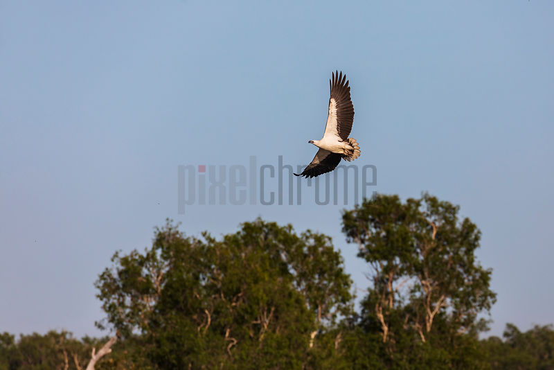 White Bellied Sea Eagle in Flight