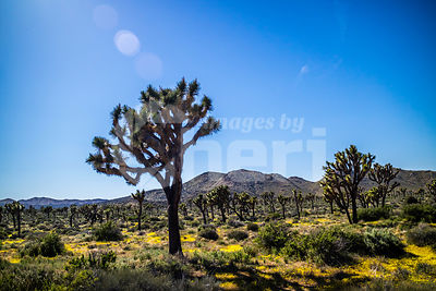 Joshua Trees in Joshua Tree National Park, California