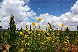 Quinoa (Chenopodium quinoa)and rapeseed (Brassica napus) plants growing on altiplano, Bolivia