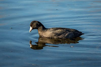 American Coot, Fulica americana, a member of the Rail family of birds.