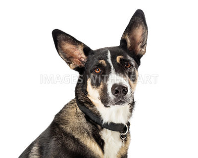Closeup Shepherd Crossbreed Dog Portrait Isolated