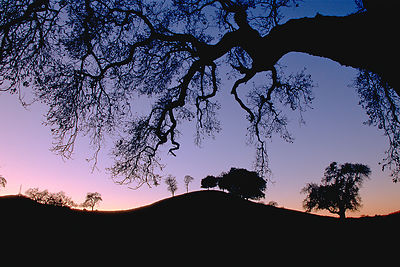 Oak Twilight