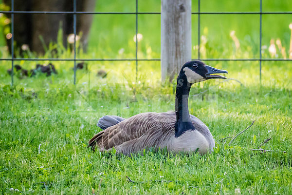A Canadian Goose in Ham Lake, Minnesota