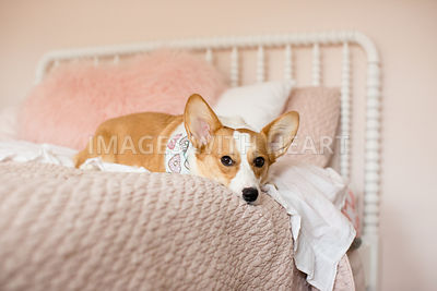 corgi laying on pink bed indoors