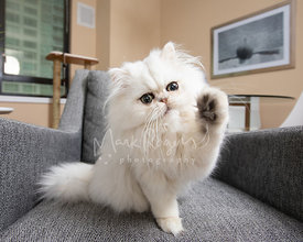White Persian Kitten Raising Paw in Air