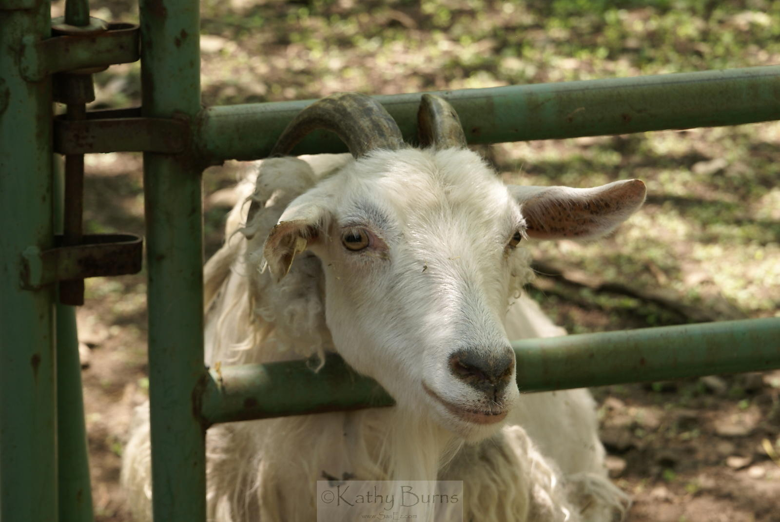 Goat with Horns