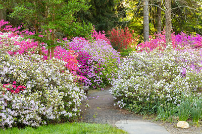 begardenpathazaleas