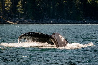 Closeup of tail of Humpback Whale, Megaptera novaeangliae, as it dives.