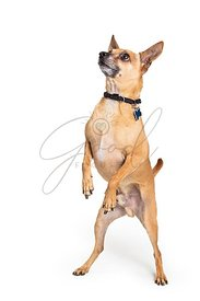 Cute chihuahua standing begging isolated white background