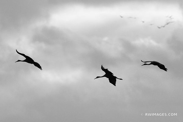 ETERNAL MIGRATIONS ; SANDHILL CRANES JASPER PULASKI FISH AND WILDLIFE AREA NORTHERN INDIANA BLACK AND WHITE