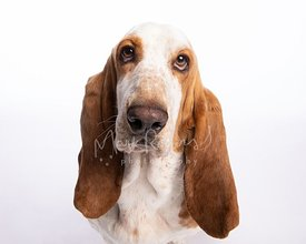 Close-up Portrait of Basset Hound