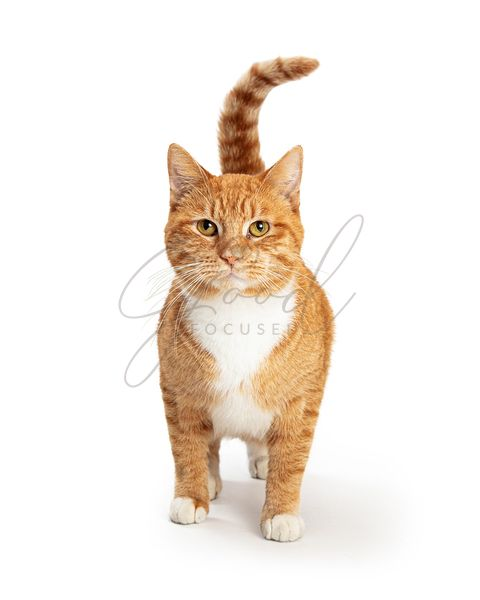Orange and White Tabby Cat Facing and Looking Forward
