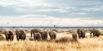 Herd of Elephant in Kenya Africa