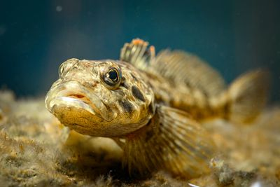 Prickly Sculpin, Cottus asper. These common freshwater fish are sometimes called Bullheads.