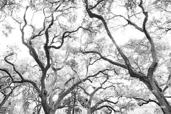 PULASKI SQUARE LIVE OAK TREES PULASKI SQUARE SAVANNAH GEORGIA BLACK AND WHITE
