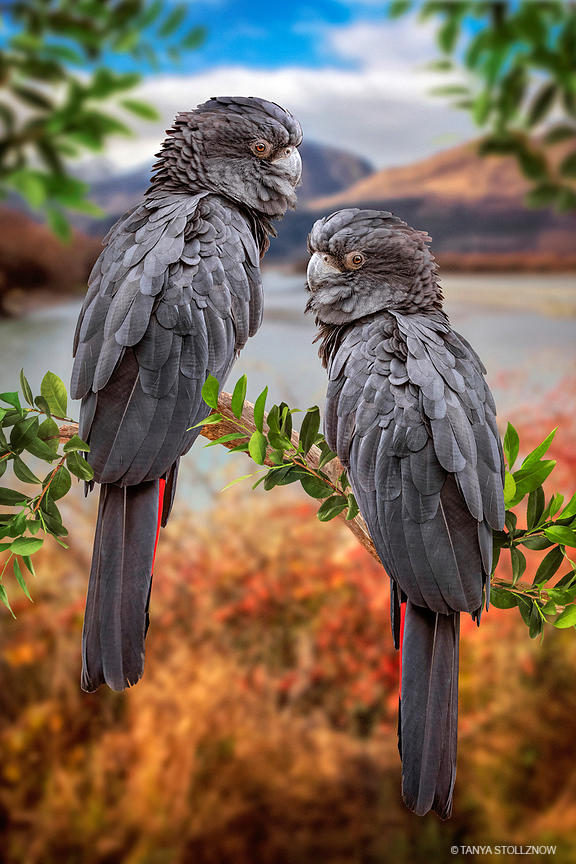 Black Cockatoo Pair