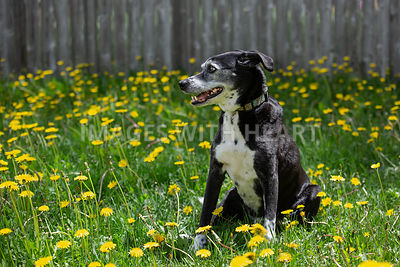 Black-Dog-Sitting-in-Grass-and-Flowers