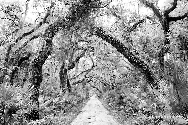 ROAD THROUGH COASTAL FOREST LIVE OAKS TREES SPANISH MOSS CUMBERLAND ISLAND GEORGIA BLACK AND WHITE
