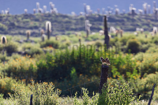 Burrowing Owls on a Fencepost and Giant Cactus at Las Pailas