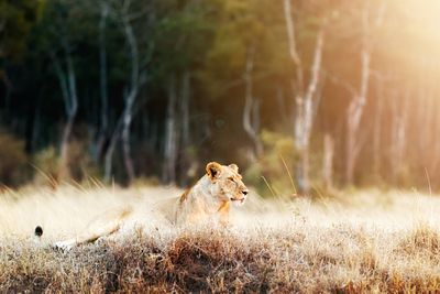 Lioness in Morning Sunlight After Breakfast