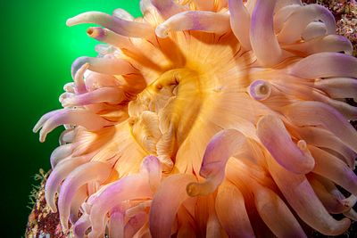 Closeup of large Painted Anemone, Urticina grebelnyi, showing its mouthparts.