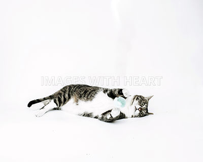 tabbyandwhitecatplayingwithtoyonwhitebackground