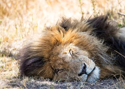 Sleeping Lion In Africa