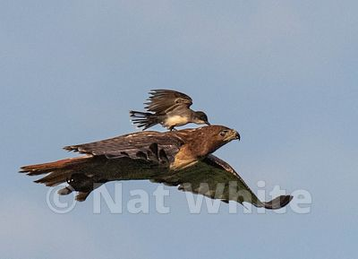 Red_Tail_Soring_-Filename_number_suffix-_1June_16_2019_NAT_WHITE