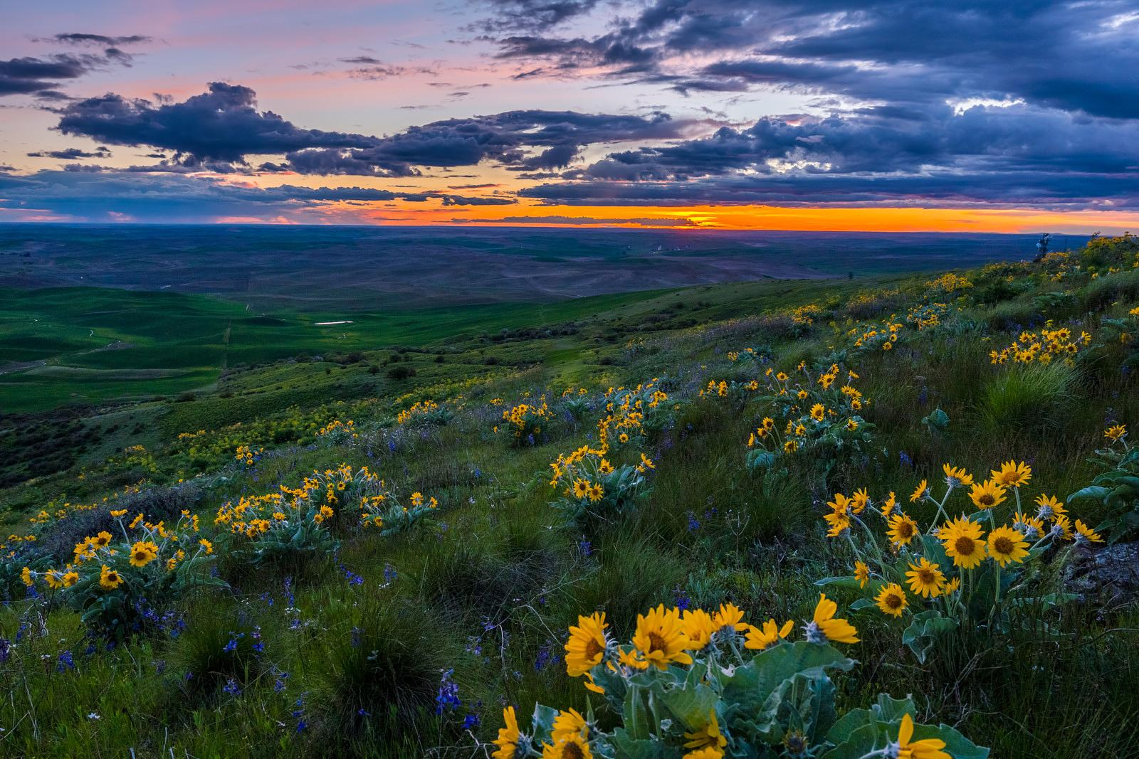 Amazing,Sunset.,Wildflowers,On,Steptoe,Butte,State,Park,,Spring,,Eastern