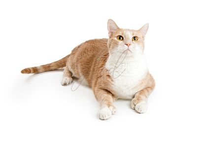 Buff and White Domestic Cat Isolated