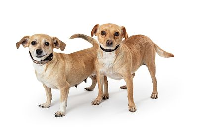 Two Chihuahua Crossbreed Dogs Together