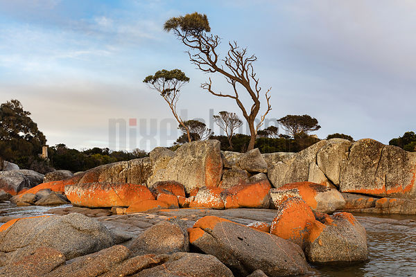 Eucalyptus Trees on a Granite Headland