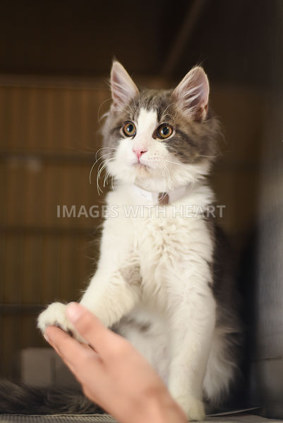 Grey and white kitten holding hand