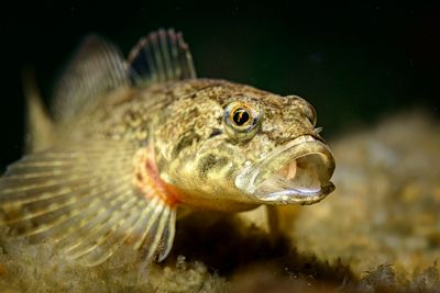Closeup of a Prickly Sculpin, Cottus asper, with open mouth.