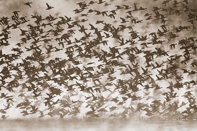 A flock of ducks takes flight into backlit morning fog, Bosque del Apache NWR, New Mexico
