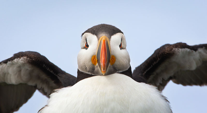 Puffin Head On