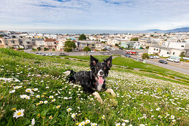 Wide Angle Photo of Border Collie Lying in Grass and Clover on San Francisco Hill