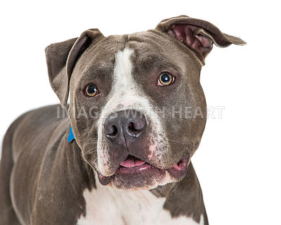 Cute grey and white Pit Bull dog closeup