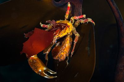 Graceful Kelp Crab, Pugettia gracilis, with it's classical rostrum adornment.