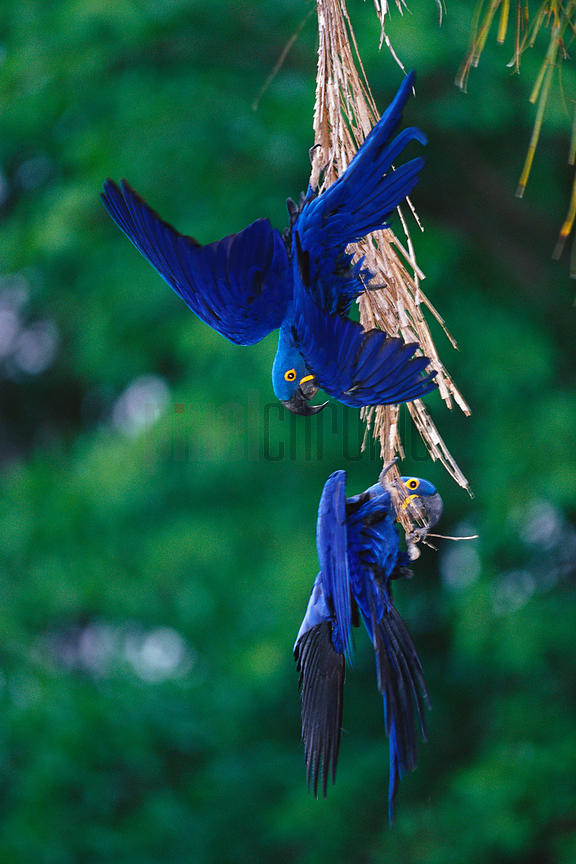 Hyacinth Macaws in Palm Tree
